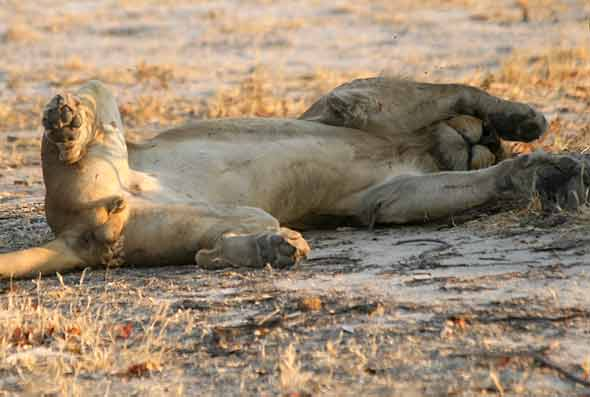 Young male lion sleeping with paws over eyes