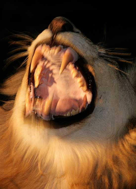 Lion showing its fangs