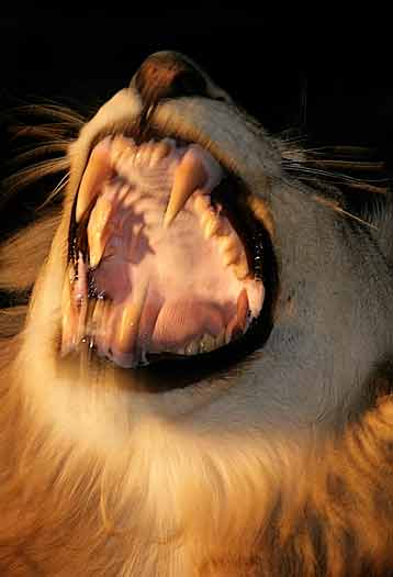 Lion male showing its teeth, Sabi Sand, South Africa