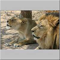 Lion and lioness roaring in unison, Endangered Species Centre, Hoedspruit