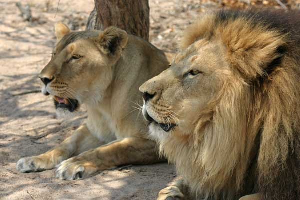 Lion pair resting together in shady spot