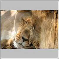 Lion male and lioness nuzzling affectionately, Endangered Species Centre, Hoedspruit