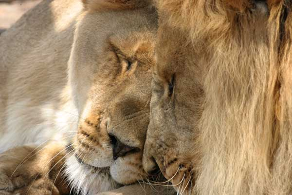 Lion pair being affectionate