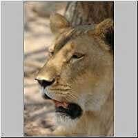 Lioness close-up, Kapama Private Game Reserve