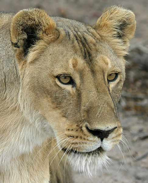 White lion with green eyes