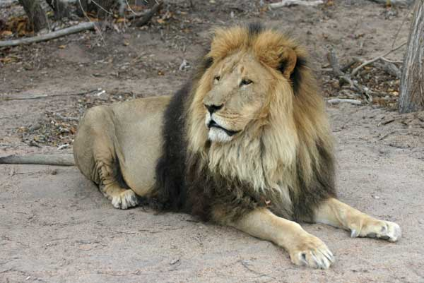 Barbary Lion with Gold and Black Mane