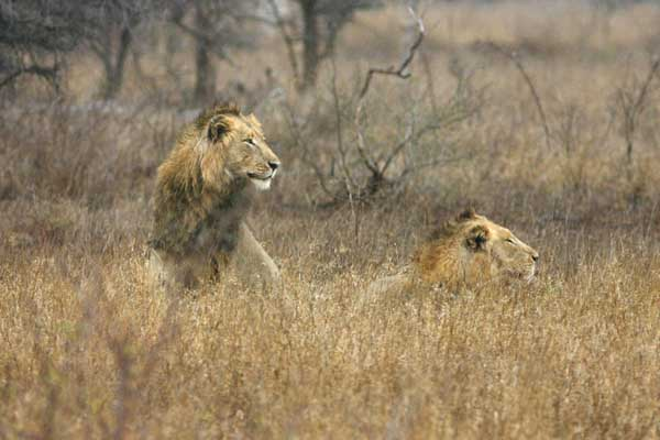 Male lions in winter grass, Kruger National Park