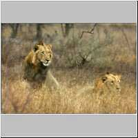 Lion males in long grass