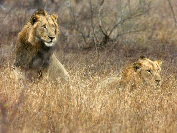 Male lions in  the grass