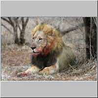 Lion male with bloodied face after feeding