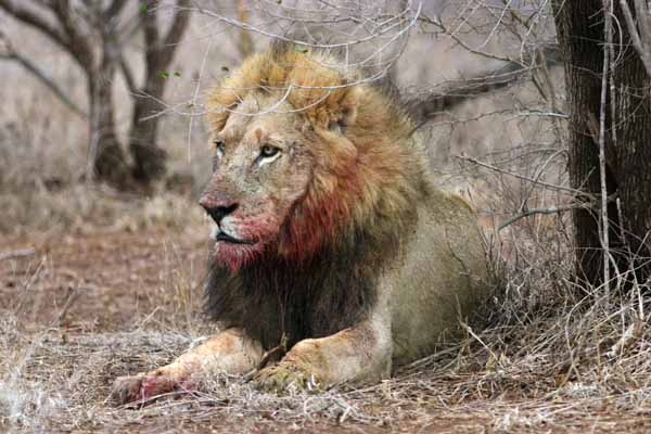 Lion male with bloody face