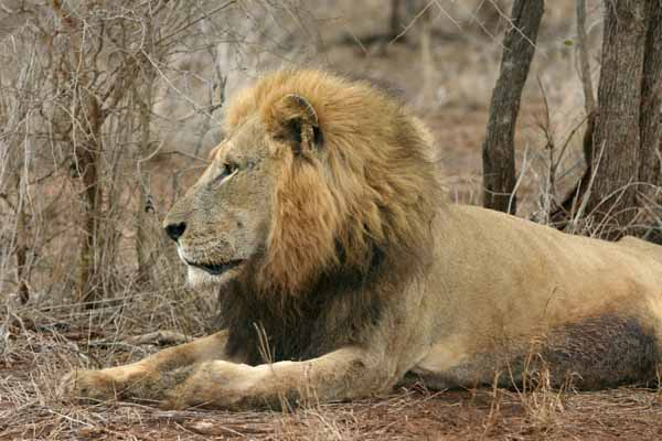 Lion male, side view, Kruger National Park