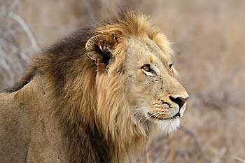 Male lion, head and shoulder view, Kruger National Park, South Africa