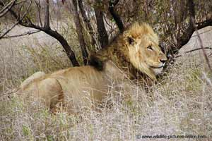 Lion male at rest