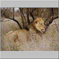 Male lion lying under tree