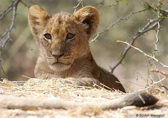 Lion cub, Lower Zambezi National Park