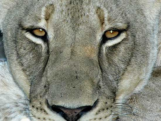 Lioness close-up, looking directly at camera