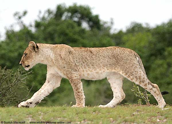 Juvenile lion walking along grassy bank in the late afternoon, Mashatu Game Reserve, Botswana
