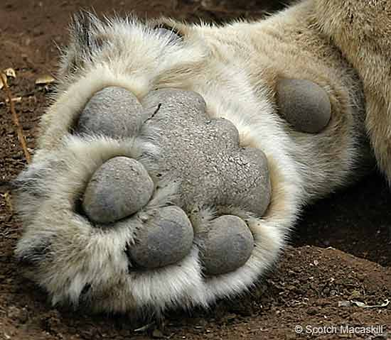 Lion paw, close-up
