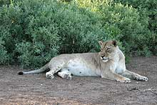 Lioness resting in the shade