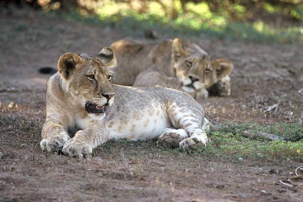 Lion cubs relaxing
