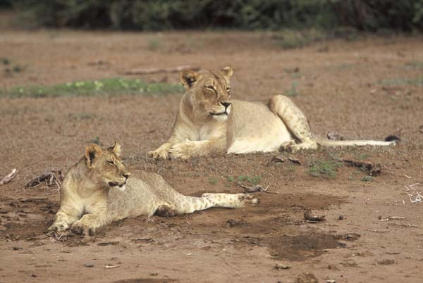 Lion pair in riverbed