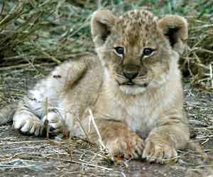Baby lion cub with wooly coat