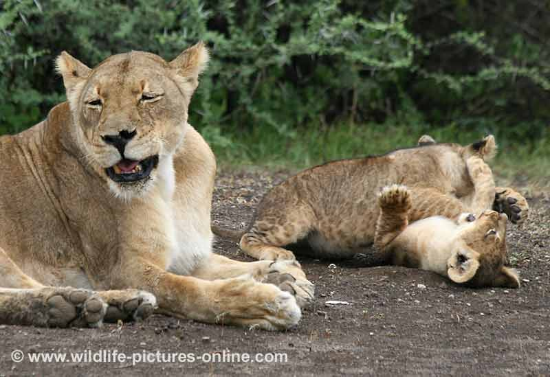 dozing lioness with playful cubs