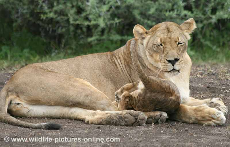 Lion cub takes a tumble while climbing over mother