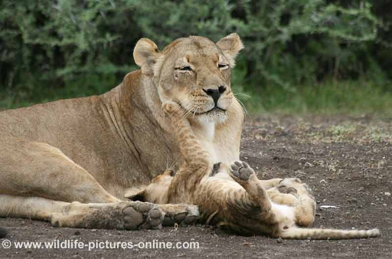 Baby lion playing with its mother, mashatu game reserve, botswana