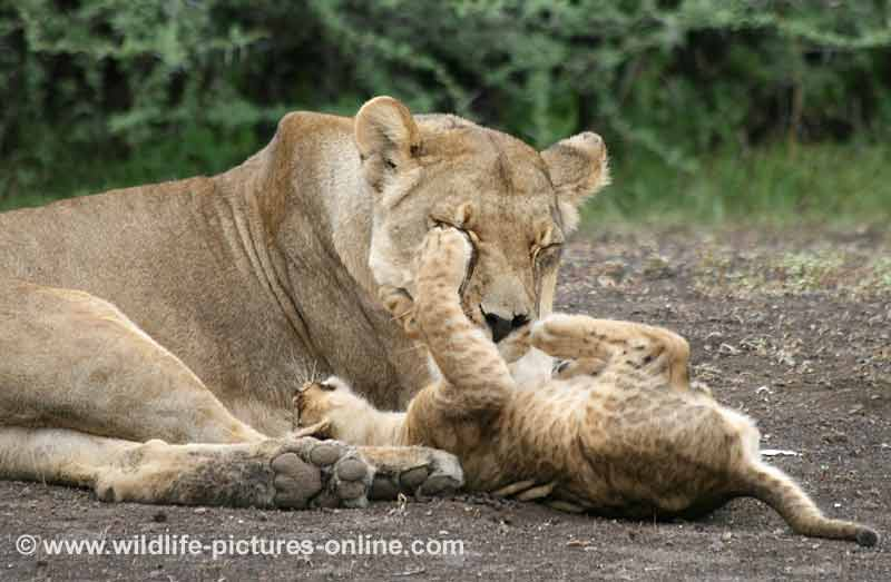 Lioness displays mother's patience with playful cub, Mashatu Game Reserve, botswana