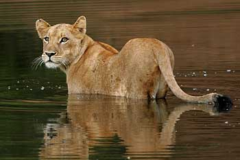 Young lioness prepares to swim river