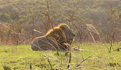 Male Lion in Umfolozi Game Reserve