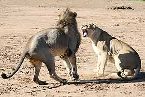 Lion female snarling at male after mating