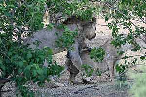 Lions mating in forested area