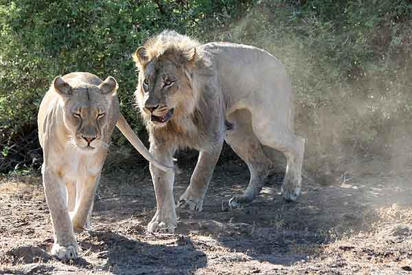 Lion male following lioness to mate