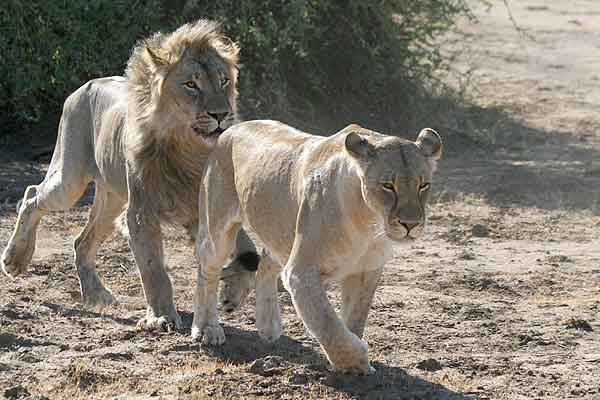 Lion following female lion