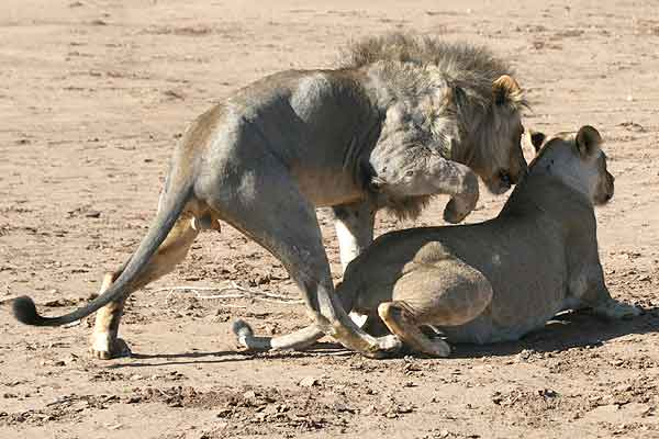 Lion about to mount lioness