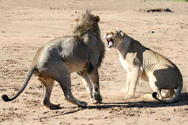 Lioness snarls at male lion after mating
