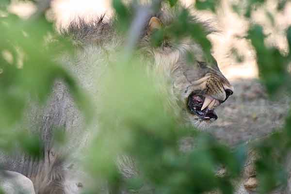 lion male growling during mating