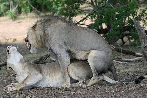 Pair of lions mating