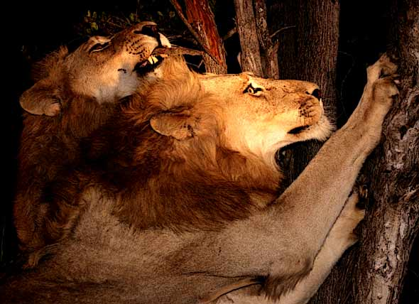 Lions sharpening their claws on tree trunks