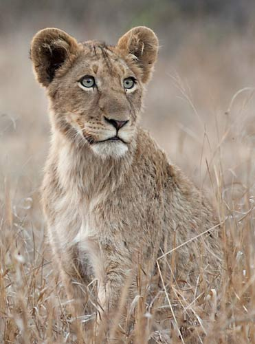 Young lion on alert, kruger national park