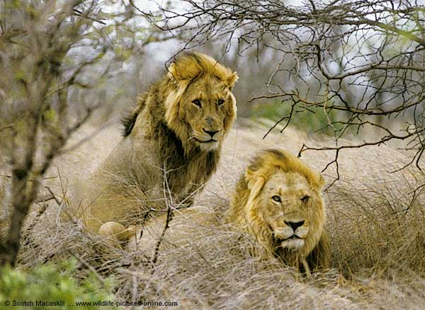 Pair of male lions, Kruger Park, South Africa