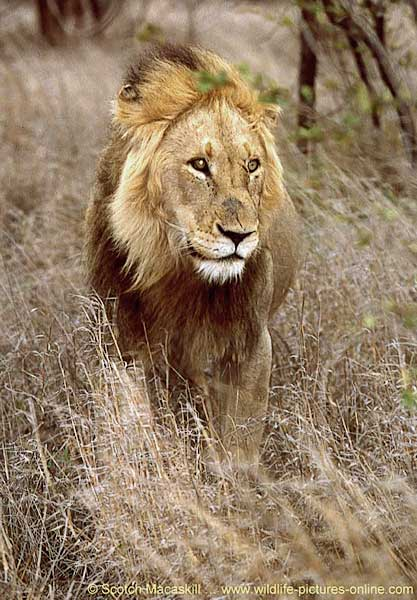 Lion standing, front-on view, Kruger National Park, South Africa