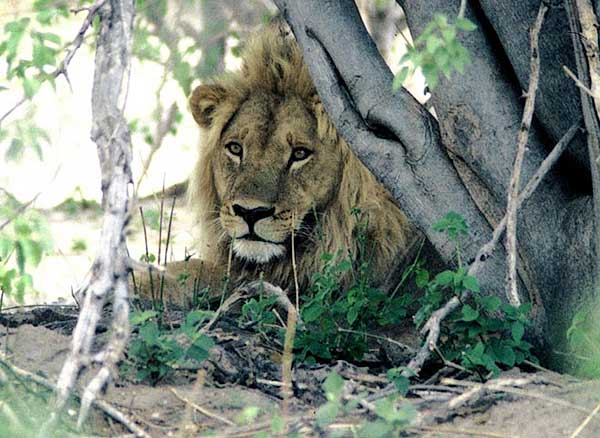 Male lion relaxing under tree, Moremi Game Reserve, Botswana