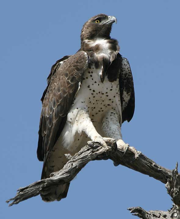 Martial eagle atop dead tree