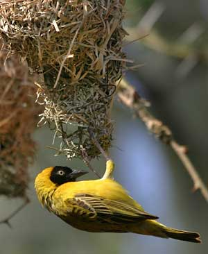 Lesser masked weaver adding spout to nest