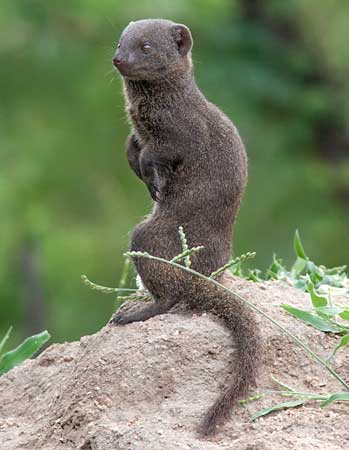 Dwarf mongoose on hind legs, Kruger National park