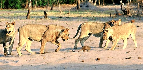 Picture of Lions surrounding mongoose